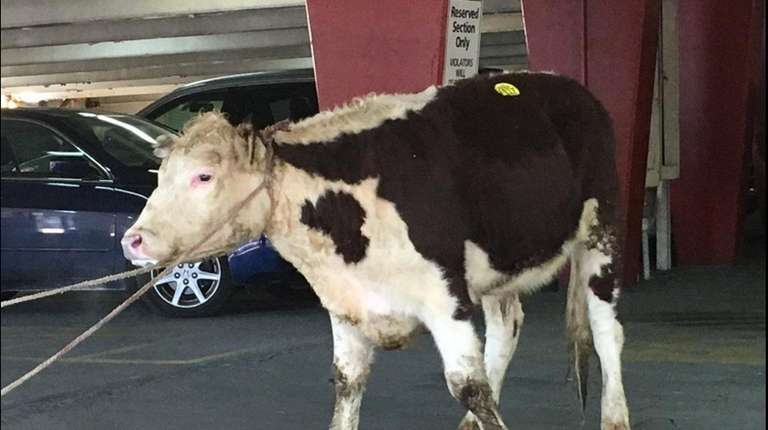 Freddie the cow has been rescued by Skylands