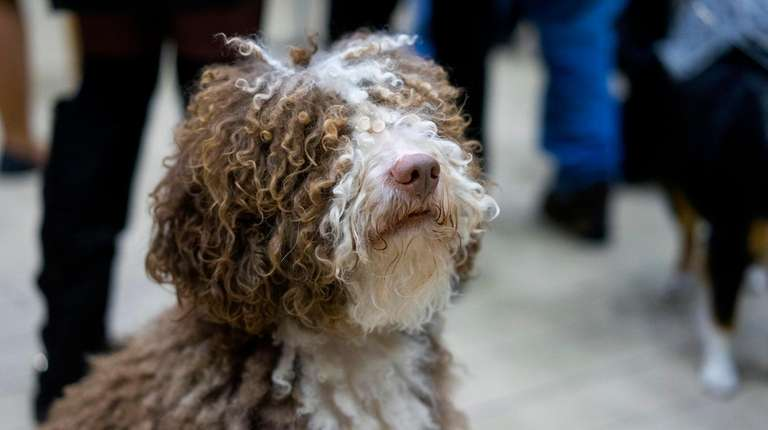 A Spanish water dog, one of seven new