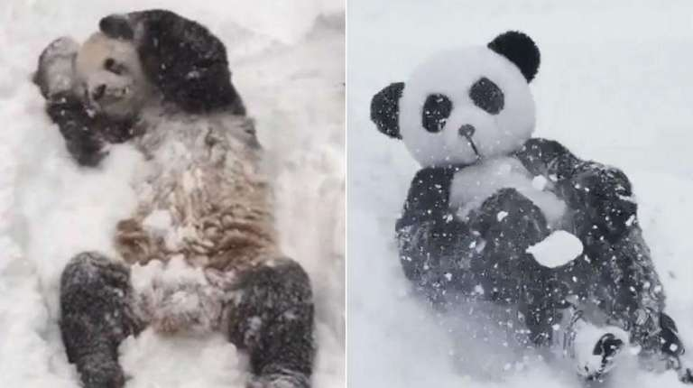 A video of Tian Tian, left, a giant