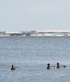 Geese and other birds swim near John