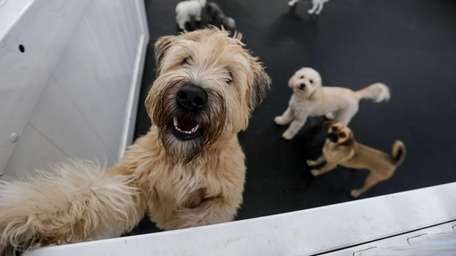 At Fido Fitness Club in Wantagh, dogs can