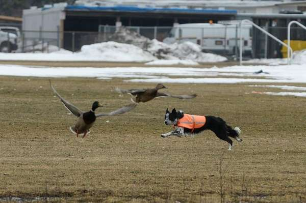 A border collie named Shepermint chases fowl at