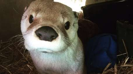 Slydell, a North American river otter, is a