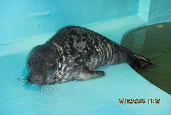 This gray seal pup, first spotted Monday,