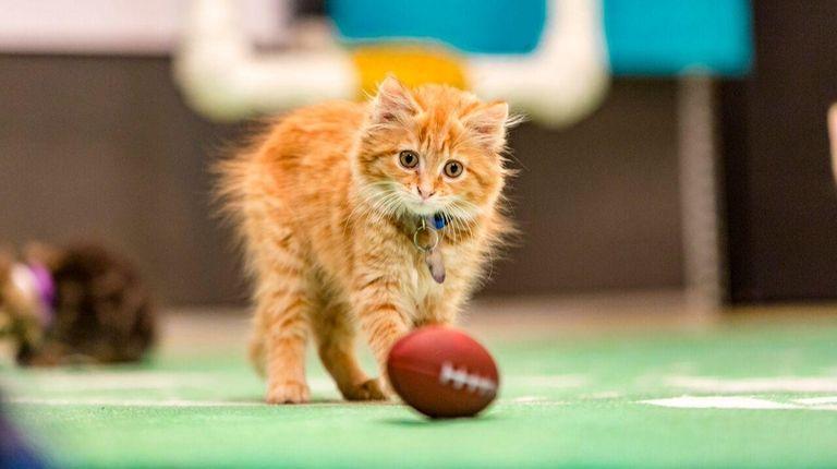 In honor of Kitten Bowl III, North Shore