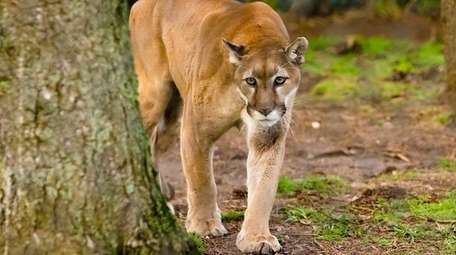 Hudson, a 19-year-old cougar and one of the