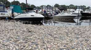 Dead fish amassed around boats at the Riverhead