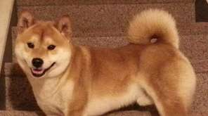 Tomi, a Shiba Inu, in a photo provided