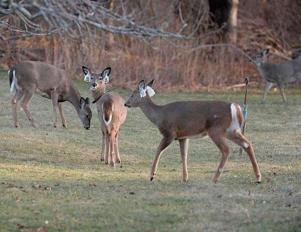 White tail deer are seen off Egypt Lane
