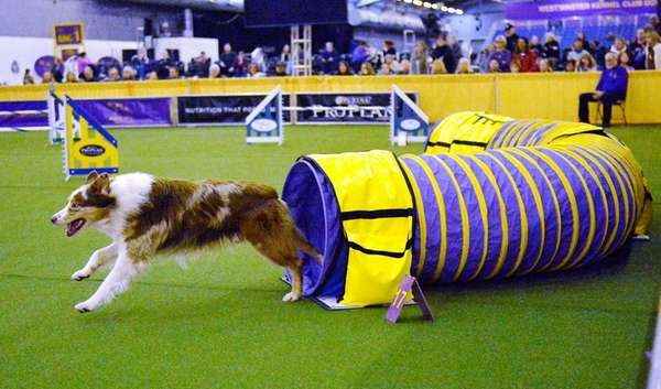 Spin, an Aussie Shepherd, competes in the agility
