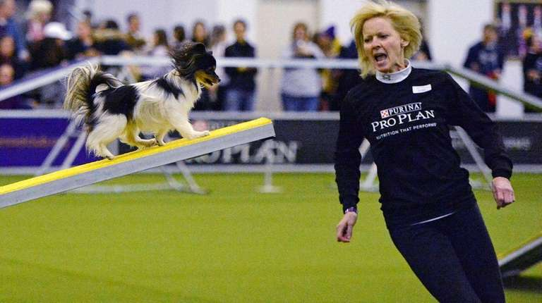 Wren, a Papillon, competes in the agility competition