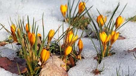 Crocuses in the snow signal the promise of