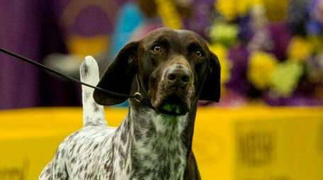 A German Shorthaired Pointer named CJ leaves the