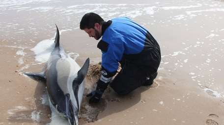 A male dolphin found stranded in East Hampton