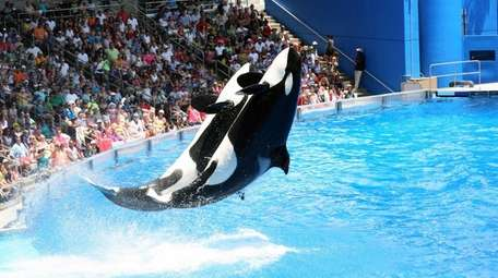 SeaWorld's orcas do a big splash in an