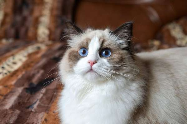 Ragdolls such as Trinity, a 6-month-old from Nesconset,