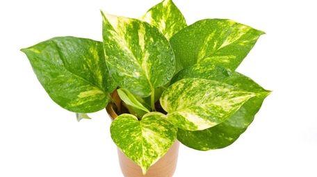 A golden pothos can help reduce indoor pollutants,