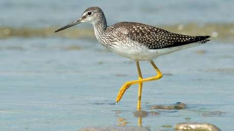 A greater yellowlegs. Both the lesser and greater
