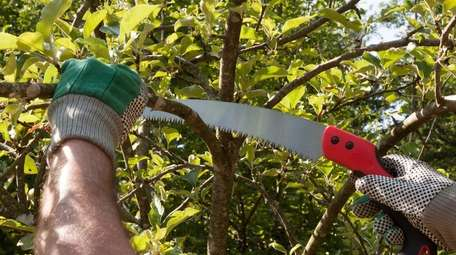 Stock photo of hands pruning an apple tree