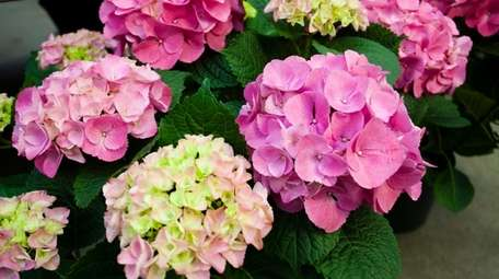 Pink hydrangeas on display for sale for the