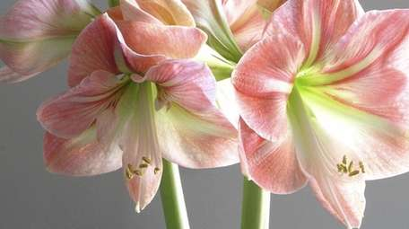 Amaryllis can rebloom if you follow some easy