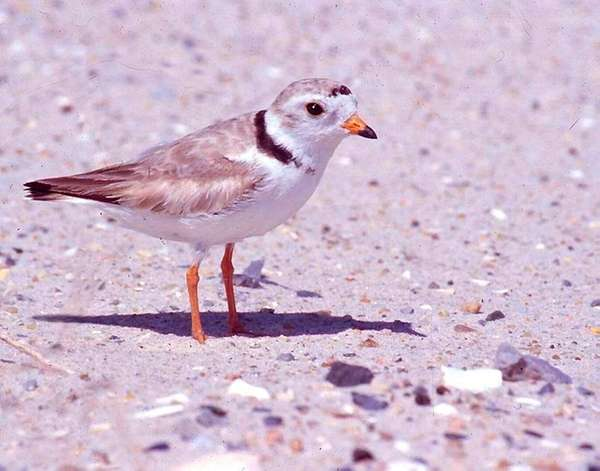 A piping plover at Jones Beach State Park.