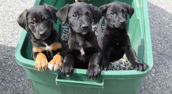 Ten-week-old lab-hound mix puppies wait outside Friends of