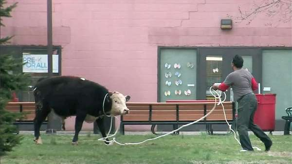 NYPD officers wrangle a cow on the York