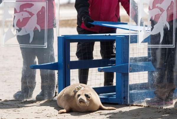Apollo, a male harbor seal, is released in