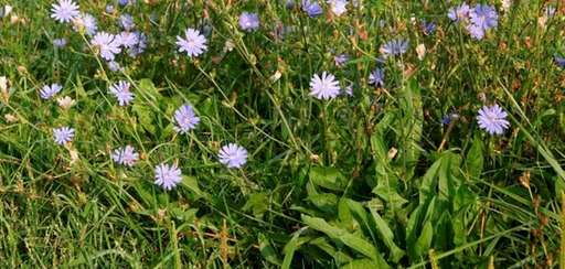 Chicory looks striking when seen growing wild.