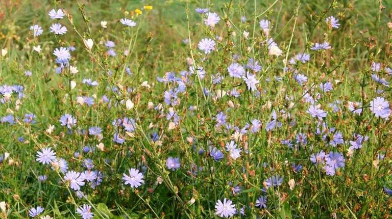 Chicory looks striking when seen growing wild.