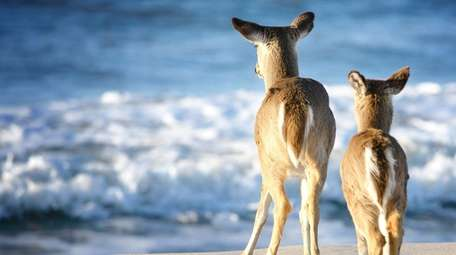 A doe and her fawn on the beach