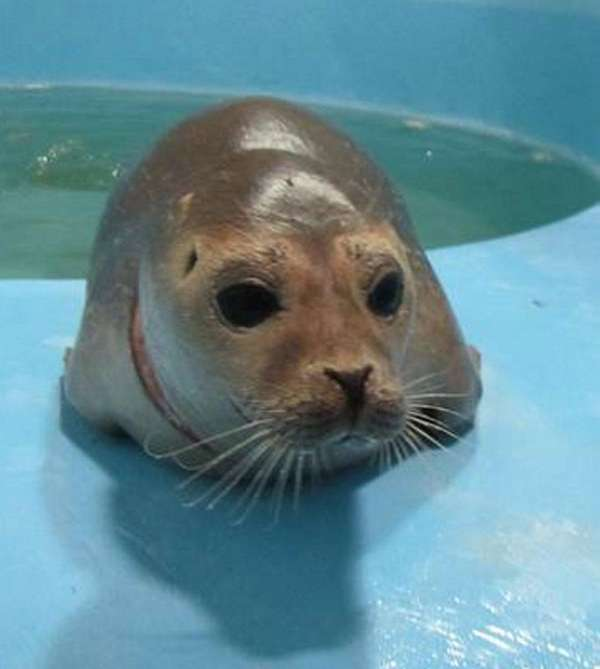 This is the cow seal who was found