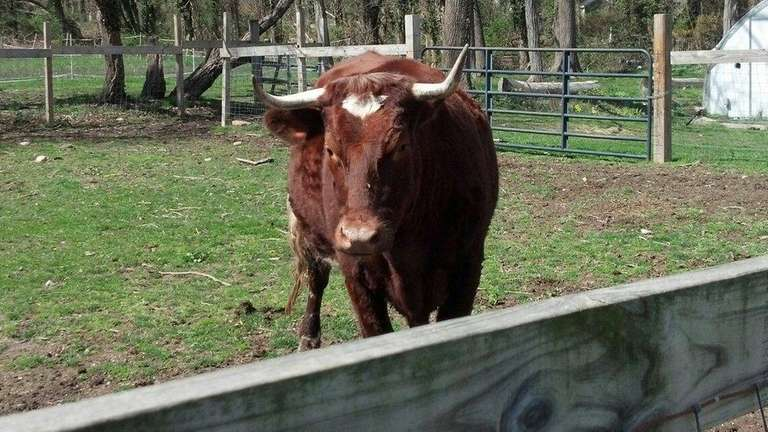 Minnie, a 2-year-old brown and white cow who