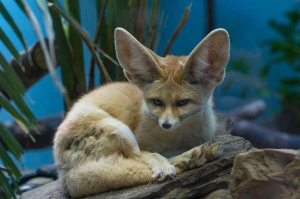 Fennec foxes, the smallest species of fox, debut