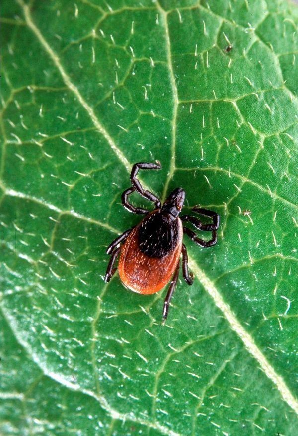 Adult deer tick, Ixodes scapularis. Ixodes scapularis often