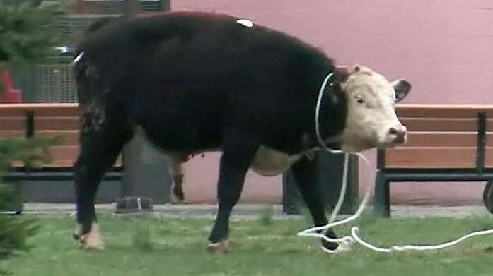 NYPD emergency service officers capture the runaway bull