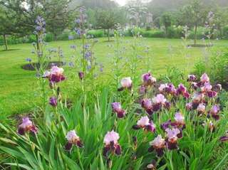 Irises in bloom at Old Westbury Gardens.