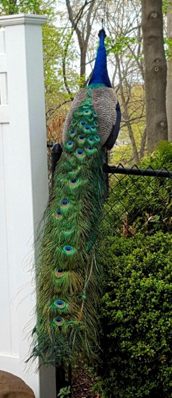 A peacock hops onto a 6-foot backyard fence
