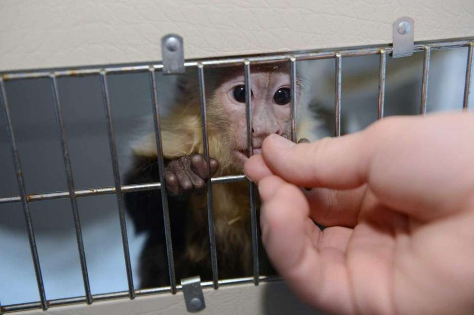 epa03647683 The monkey Mally belonging to Canadian singer