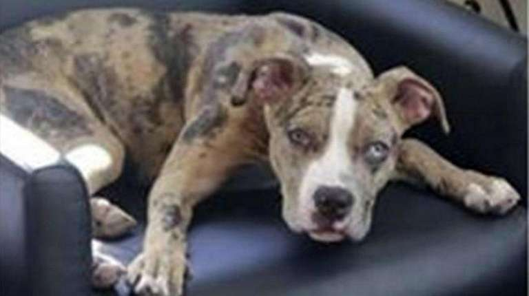 Roxie, a pit bull mix puppy, was found
