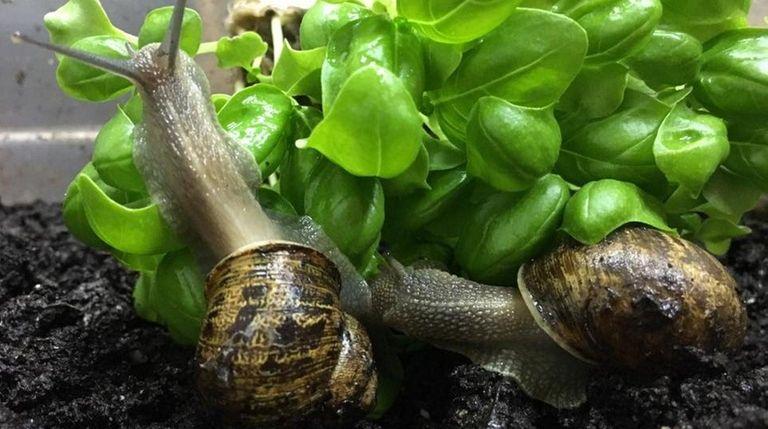Peconic Escargot, a new farm in Cutchogue, has