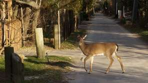 A white-tailed deer is seen in Saltaire on