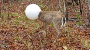 This deer was freed Tuesday, May 4, 2016,