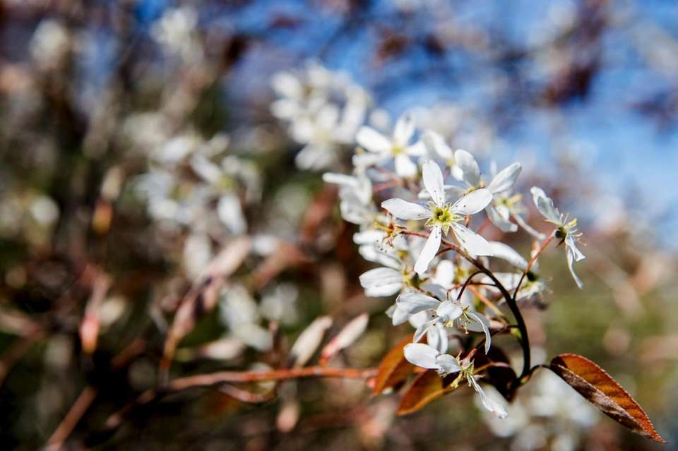 Amelanchier, aka shadbush or serviceberry