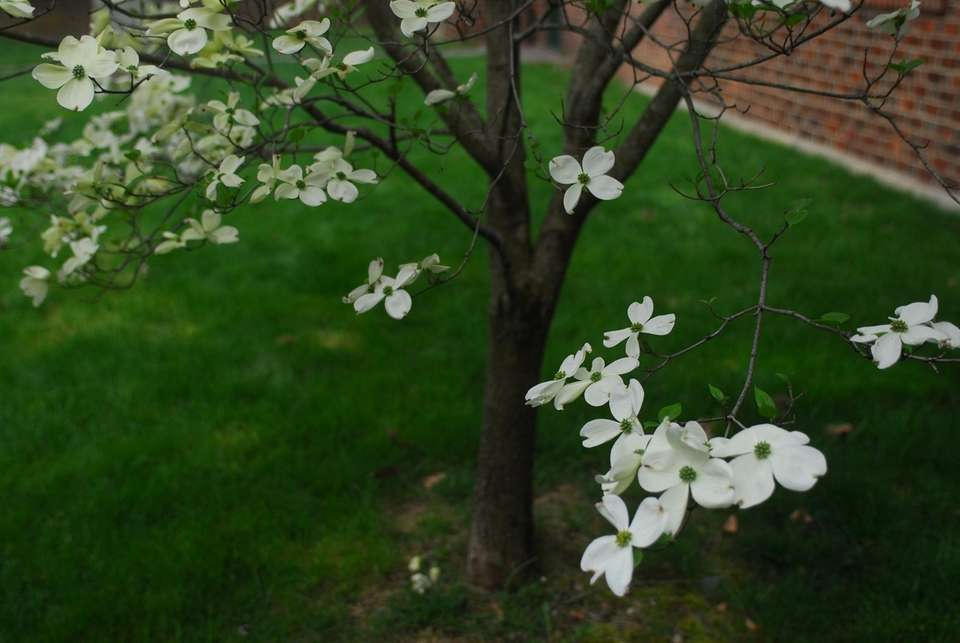 Flowering native dogwood (Cornus florida)