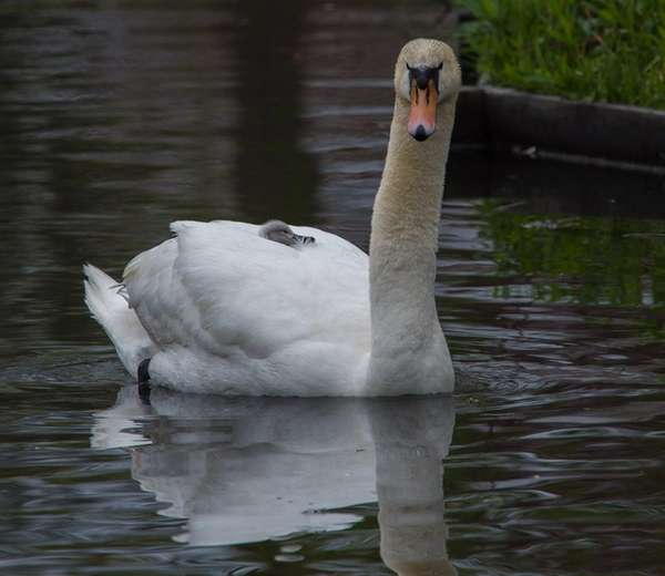 A male swan, called a cob, transports his