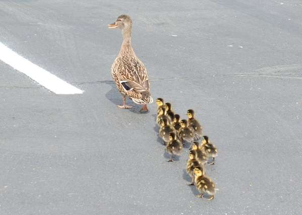 A mother duck and her 12 ducklings are