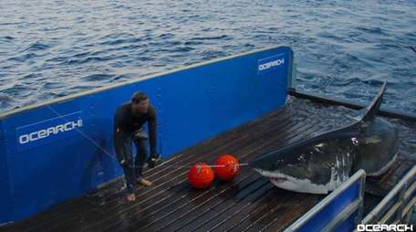Mary Lee, the great white shark in a