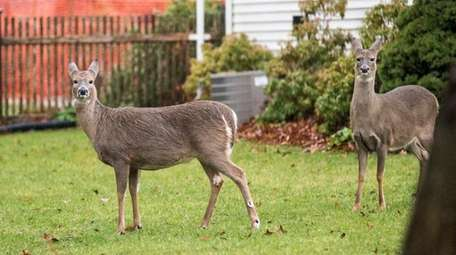 White-tailed deer are seen in the yard of